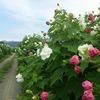 南足柄市千津島の酔芙蓉が見頃です&彼岸花が咲き始めました