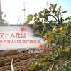 トマト【ステラトマト】の定植・植え付け~植え方と老化苗を回避する2つの対策は??~ベジヲタ畑 Day51