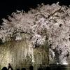 夜桜見物 〜 円山公園〜