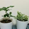 観葉植物を買ってみた