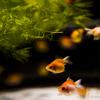 アートアクアリウム展は金魚とインスタバエの宝庫【写真多数】