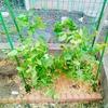 苗から育てる秋蒔きのさやえんどう。畑への植え付けと支柱立てと開花時期。