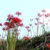 ヒガンバナが例年より6日も遅れて開花した