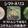 シマトネリコ、コガネムシの幼虫が大量発生