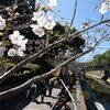 熊本市でも桜が開花