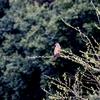 里山の鷹サシバ