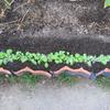 【家庭菜園】2度目の小カブ、2回目の間引きです