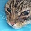 石松になった猫 #縫合手術