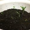 【14日目】対決! 「バニラ高収入」を聴かせて育てたトマト V.S. 普通のトマト