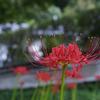 宇治市 東禅院前の彼岸花などを