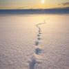 キタキツネが金色の雪原を歩く時