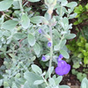 オクラ収穫と一緒の葉の剪定で、病害虫を予防して元気な株を作る