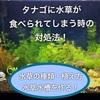 【タナゴ水槽】水草が食べられる時の対処法3選!種類・植え方