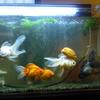 新年の金魚たち