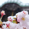 雪と桜の共存する世界