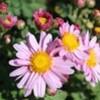「野菊」が、賢治ガーデンでも見頃に…。