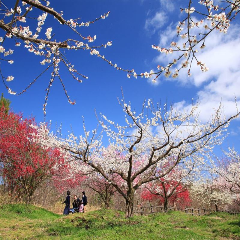 早春を彩る京都府内の厳選・梅の名所8選