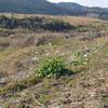 ハマダイコンが咲き始めました。