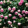 よしうみバラ公園に薔薇を撮りに行く 後編