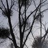 飛騨の秋景色 【ヤドリギ・熊棚 】
