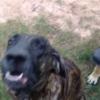朝からうるさい!イサーンの田舎…犬的視点でw 2016 Brazilian guard dog