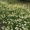 カモミールが花盛りでした