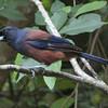鹿児島の県鳥ルリカケス 「希少種」指定解除へ