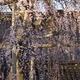 慶恩寺「シダレザクラ」金沢市指定保存樹