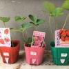 イチゴの苗を買ってみました