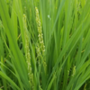 予想よりも早く出穂してました。稲の花もいいですね♪