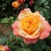 駅からハイキングで平塚の薔薇を楽しむ3(平塚市総合公園2)