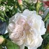 クイーンオブジエルブス  色の変化にビックリするロサオリのバラ