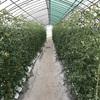 トマト成長記録 うどん粉病蔓延