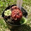 モウセンゴケの植え替え色々