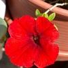 真っ赤な花も^ ^