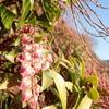 ベニバナアセビがいよいよ咲き始めたようです。