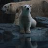 男鹿水族館GAOのシロクマのこぐまは名前がまだない