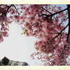 今日の一枚「団地の河津桜」(2019.03.18) [花]
