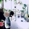 6月のベランダ  バラは変化が楽しい季節♪観葉植物もベランダ留学!アイビーゼラニウムの紹介も♪