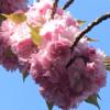 八重桜、満開です!(2021年4月11日)