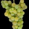 セルビアワイン( Srpsko Vino)について③主な栽培ブドウ品種 2.黒ブドウ