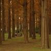3密回避ドライブ その5 ~東京都内でメタセコイアの紅葉を見る「水元公園」~