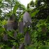 ホタルブクロ 蛍袋 Campanula punctata Lam