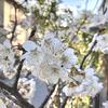 サクランボの木開花と胸のつかえ