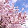 南足柄市 春めき桜2020
