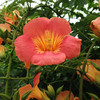 (388) Campsis grandiflora