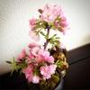 今日の桜井。