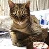 ダイエット猫プーチン、餌やり1日1回はじめました