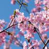 お散歩しながら一眼レフカメラ練習! 満開の河津桜を光で印象コントロール!