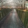 目黒川の桜、桜、✿